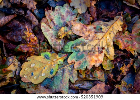 oaks autumn leafage - abstract natural background