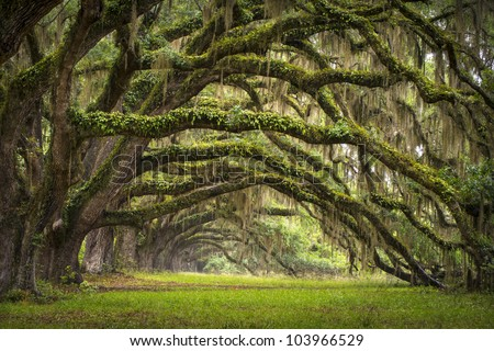 Oaks Avenue Charleston SC plantation Live Oak trees forest landscape in ACE Basin South Carolina lowcountry - stock photo