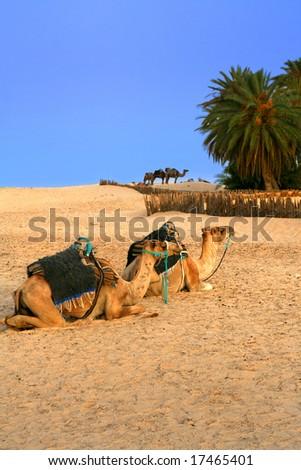 oasis on sahara desert in tunisia, camels - stock photo