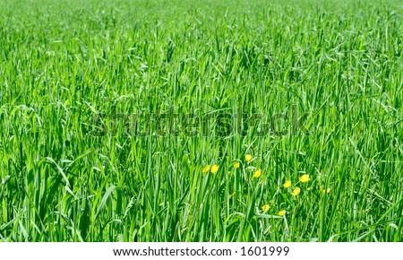 Oat crops - stock photo
