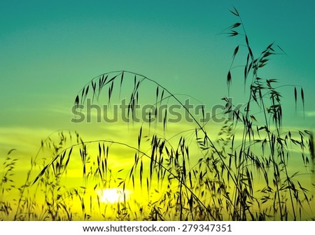 Oat field at sunrise with colored effect - stock photo