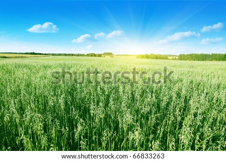 Oat field on summer day. - stock photo