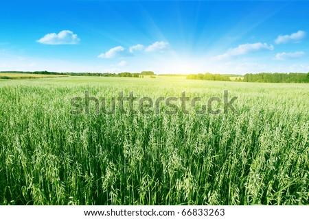 Oat field on summer day. - stock photo