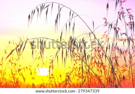 Oat field with color saturation and lighting at sunrise - stock photo