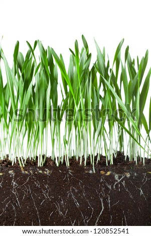 oat grass and roots in soil cross-cut section - stock photo