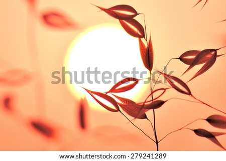 Oat plant on great sun of dawn, color effect image - stock photo