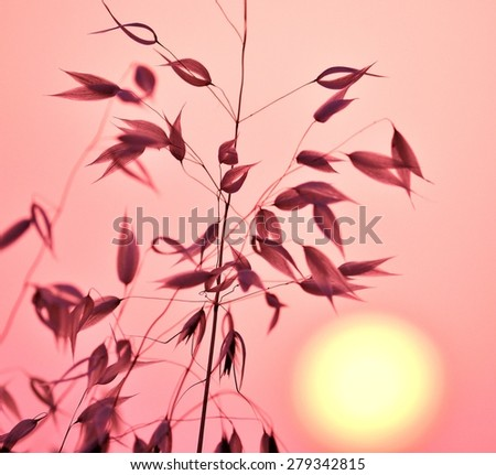 Oat plant with color effects and lighting at sunrise - stock photo