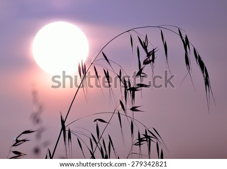 Oats at sunrise with color effects - stock photo