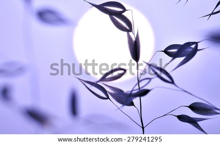 Oats on great sun of dawn, colored effect image - stock photo