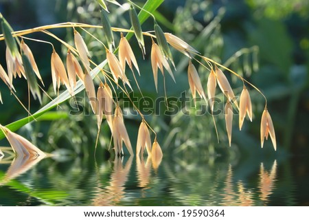 Oats spikes in summer and flooding in water - stock photo
