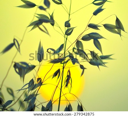 Oats with color effects and lighting at sunrise - stock photo