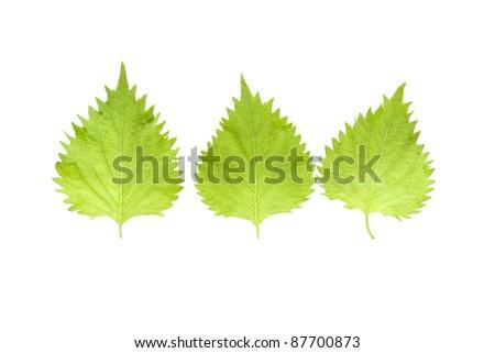 Oba leaf - stock photo