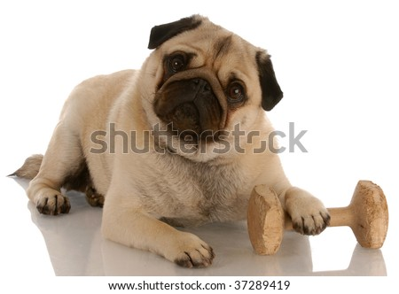 obedience dog - pug laying down beside dumbbell