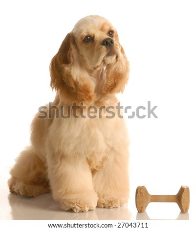 obedience training - american cocker spaniel sitting beside obedience dumbbell - stock photo