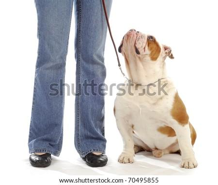 obedience training - english bulldog sitting looking up at handler on white background - stock photo