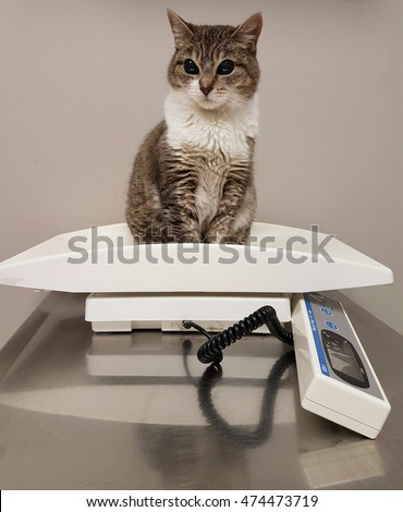 Obedient but unhappy cat on a veterinarian's scale