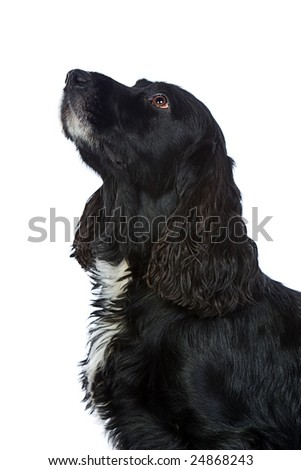 Obedient Cocker Spaniel Looking Up