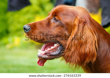 Obedient nice irish setter with staring look - stock photo