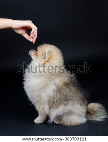 Obedient Pomeranian puppy waiting for a treat from the owner hand (on a black background) - stock photo