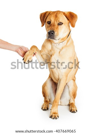Obedient yellow Labrador Retriever mixed breed dog raising paw to shake hands with person