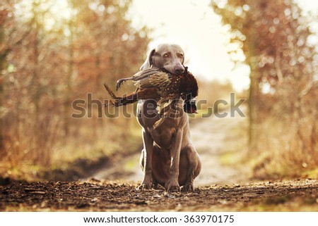 obedient, young and angry nice weimaraner dog or puppy is sitting on a dirt road, and in his mouth holding a pheasant hunter training, winter environment - stock photo