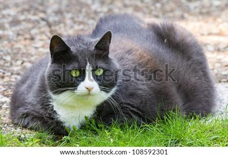 Obese cat lying outside - stock photo