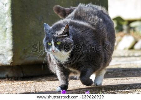 Obese pussy cat on the move in the garden  in spring - stock photo