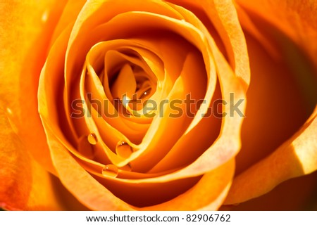 object on white - rose close up - stock photo