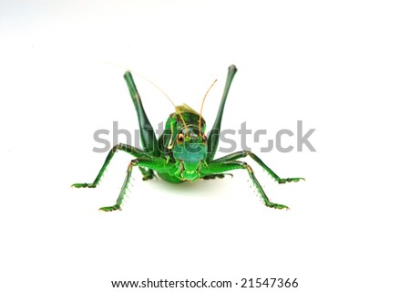 Obverse shoot the katydid in the white background - stock photo