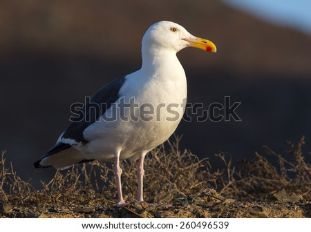 Occidental seagull