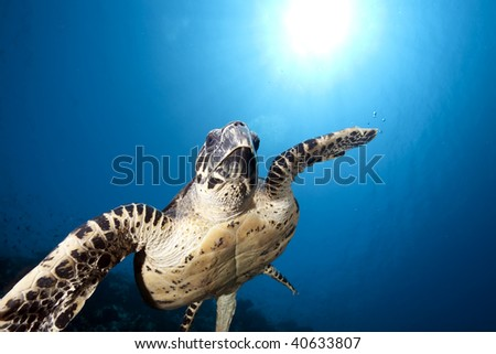 ocean and hawksbill turtle - stock photo