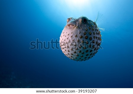 ocean and yellowspotted burrfish - stock photo