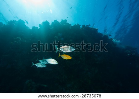 ocean, coral and trevally