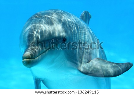 Ocean Life - Curious dolphin watching the camera. - stock photo