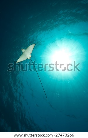 ocean, sun and spotted eagle ray - stock photo
