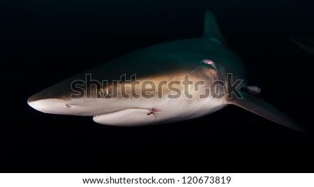 Oceanic Blacktip shark in the dark - stock photo