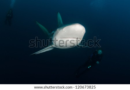 Oceanic Blacktip shark with divers - stock photo