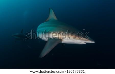 Oceanic Blacktip sharks - stock photo