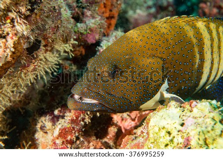 Oceanic colorful red grouper on the reef background - stock photo