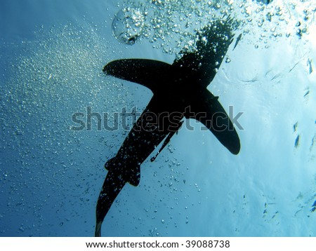 oceanic white tip shark, Carcharinus longimanus, Elphinstone Reef, Red Sea - stock photo