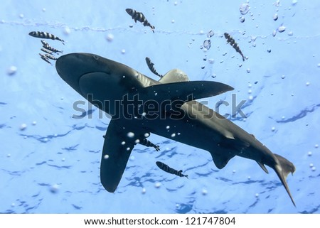 Oceanic White Tip shark - longimanus  in the Red Sea