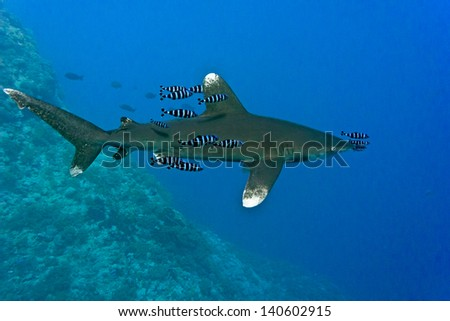 Oceanic White Tip shark - longimanus in the Red Sea - stock photo