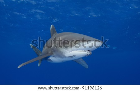 Oceanic white tip shark with a fisherman's hook in its jaws - stock photo