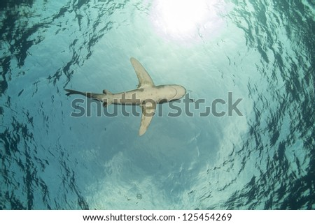 Oceanic whitetip shark (carcharhinus longimanus at Elphinestone Red Sea - stock photo