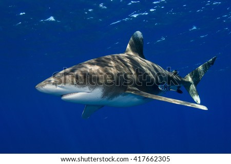 Oceanic Whitetip shark off Cat Island in the Bahamas on a clean blue background. - stock photo