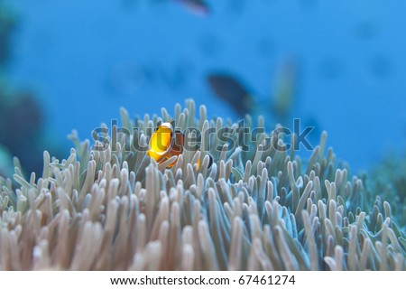 Ocellaris Clownfish, False Clown fish hiding in Anemone Heteractis in the Surin National Marine Park, Thailand. - stock photo