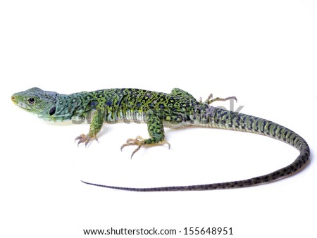 Ocellated lizard isolated on white background - stock photo
