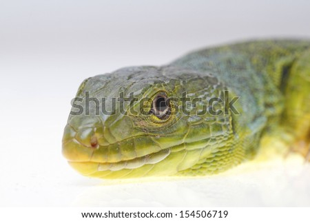 Ocellated lizard isolated on white background adult