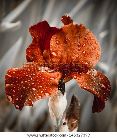 Ocher iris with water drops in the garden after rain. Selective focus. Vintage toning. Retro style postcard. - stock photo