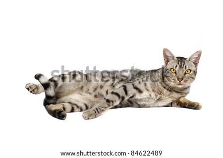 Ocicat male on a white background. Studio shot. - stock photo
